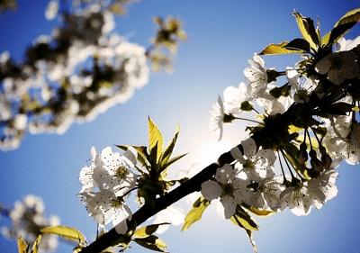 梦见树上开满白色的花