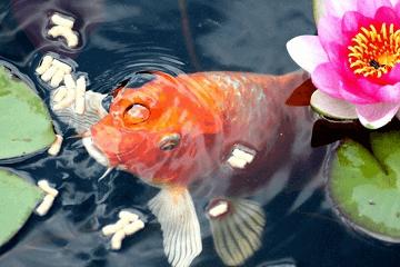 周公解梦梦见红鲤鱼